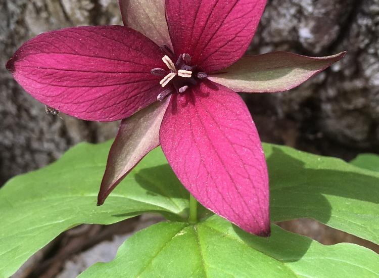 Close-up of red trillium flower