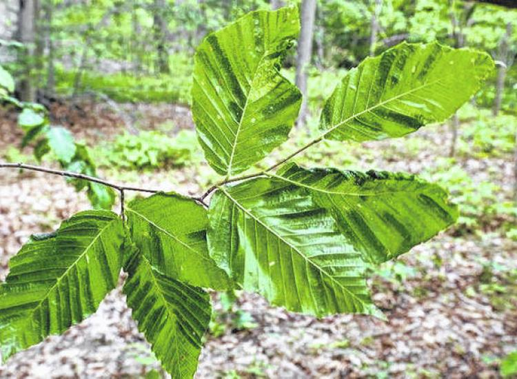 Beech leaves showing characteristic striped bands of beech leaf disease