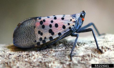 Profile view of an adult spotted lanternfly