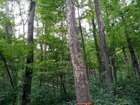 Ash tree showing symptoms of Emerald Ash Borer infestation