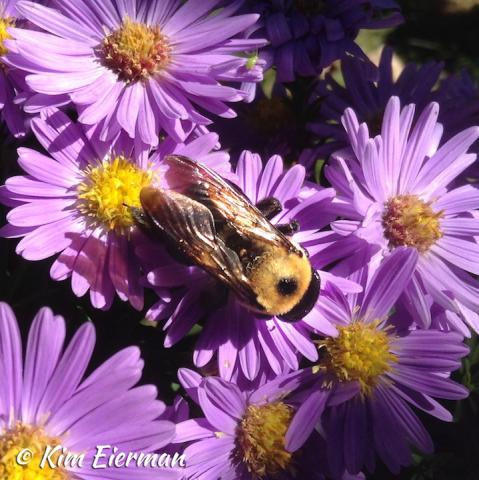 New England aster with bumblebee