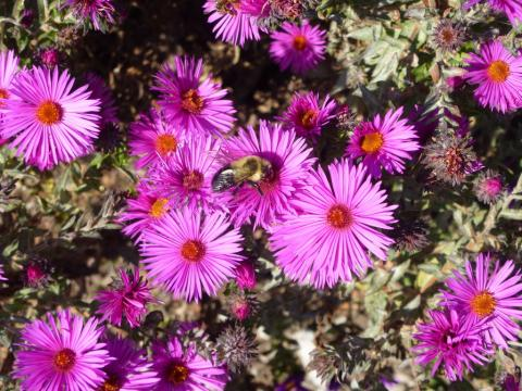 Purple colored New England asters with common eastern bumblebee