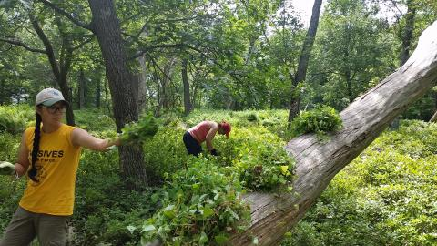 Crew member and volunteer removing invasive plants