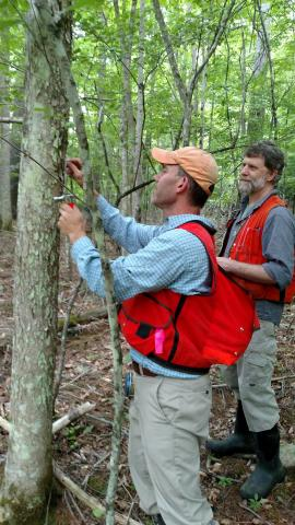 Two volunteers surveying ash trees