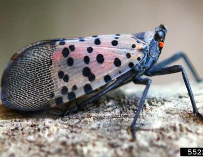Profile view of resting adult spotted lanternfly