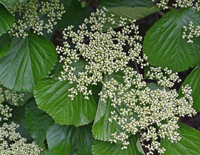 linden arrowwood flower