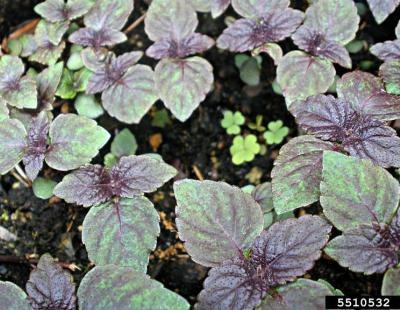beefsteak plant foliage dark purple