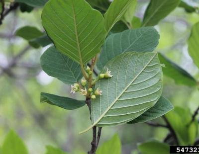 smooth buckthorn leaves