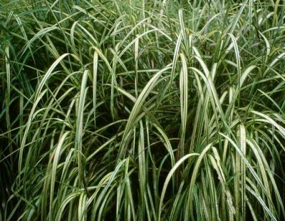 chinese silvergrass