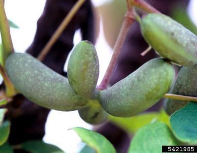 chocolate vine seeds