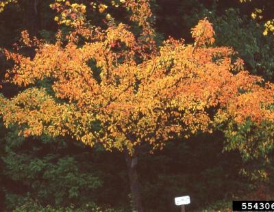 tea crabapple fall foliage