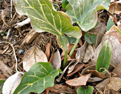 italian arum leaf
