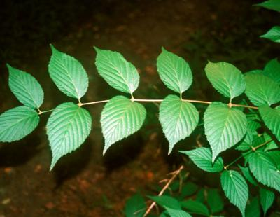 jetbead leaves