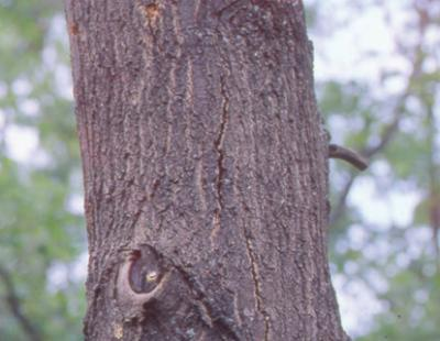 oak wilt bark split