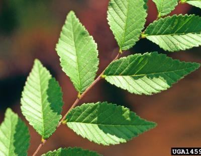siberian elm foliage