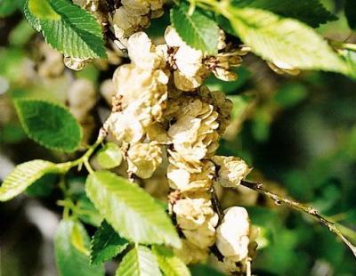 siberian elm seeds