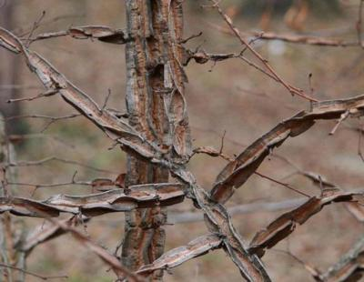 siberian elm twigs