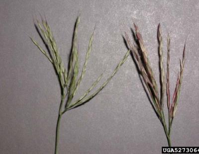 small carpetgrass flowers