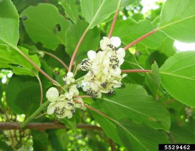 hardy kiwi flower