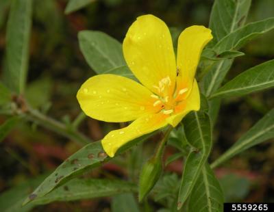 creeping waterprimrose flower