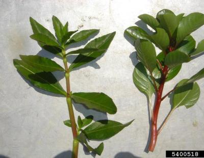 creeping waterprimrose leaf