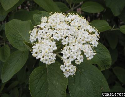 wayfaring tree flower
