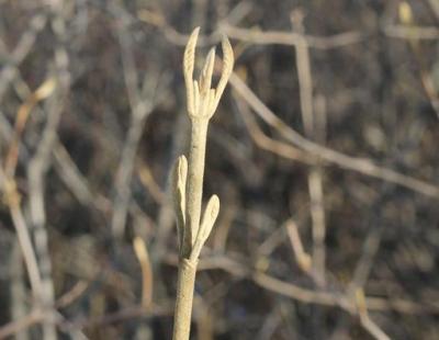 wayfaring tree twig