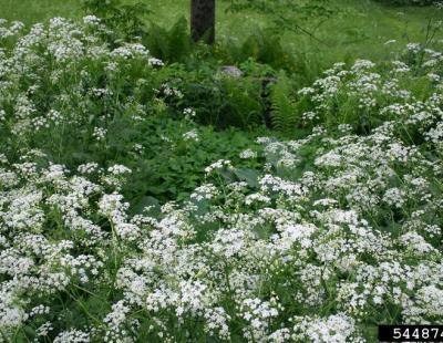 wild chervil flowers