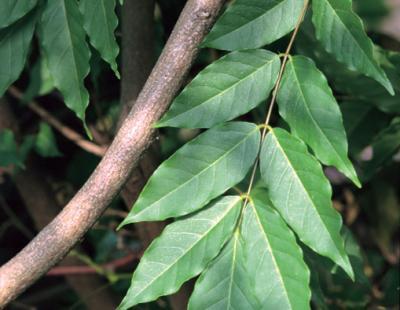 chinese wisteria leaf