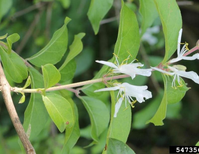 amur honeysuckle flowers