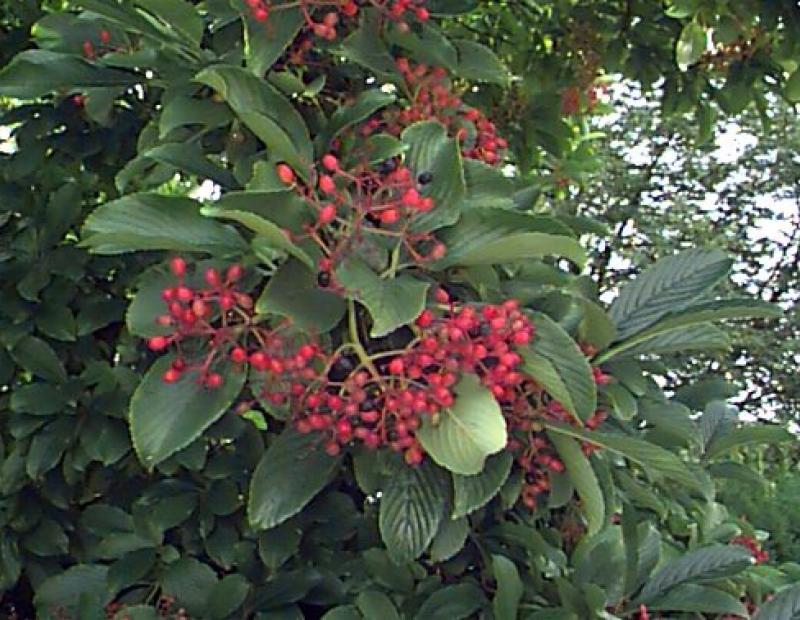 Siebold's viburnum fruit