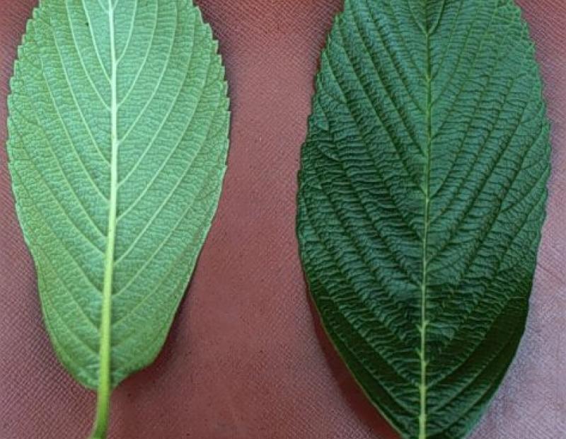 Siebold's viburnum leaf