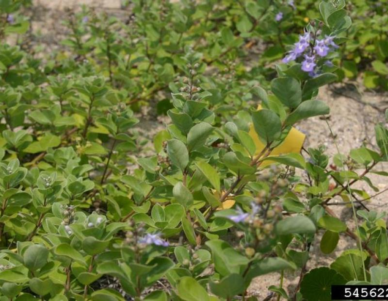 beach vitex flower