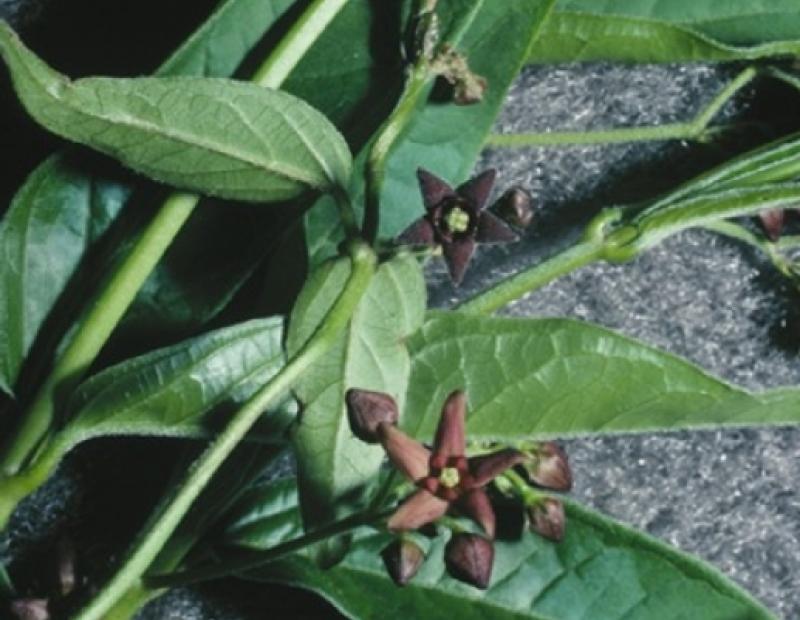 black swallowwort foliage