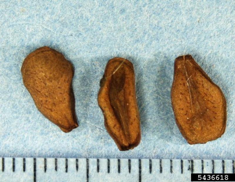 black swallowwort seeds