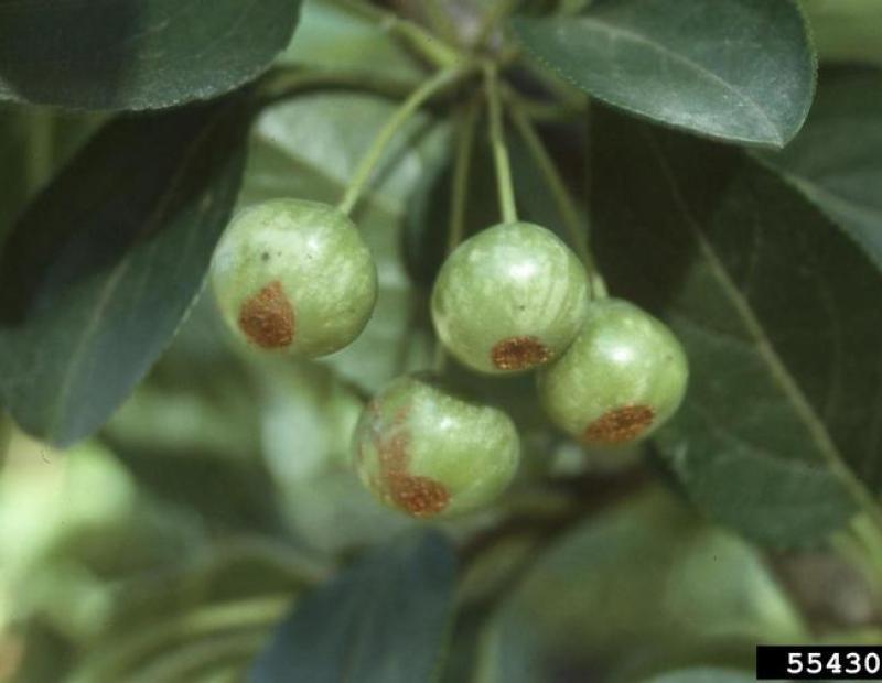 tea crabapple fruit