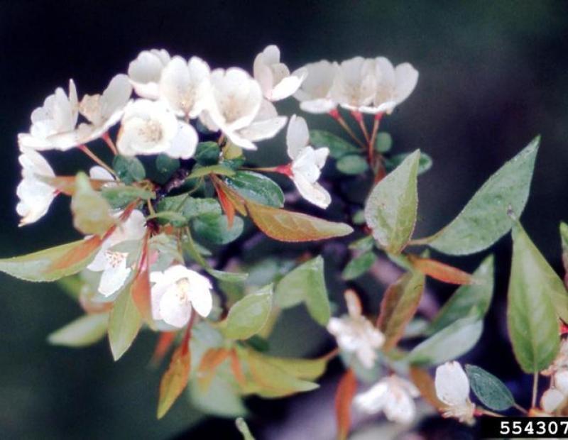 tea crabapple flowers