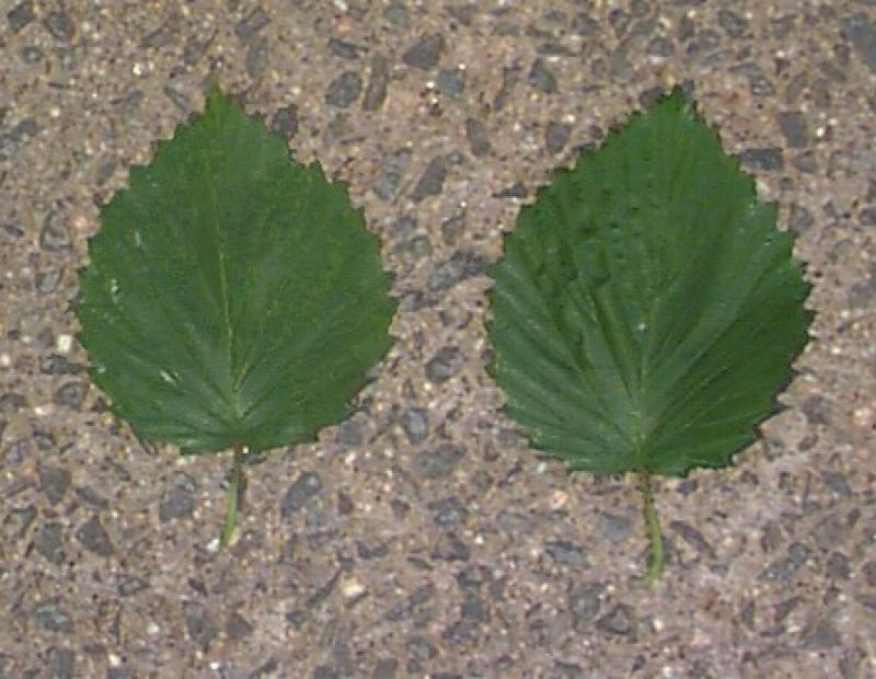 linden arrowwood leaves