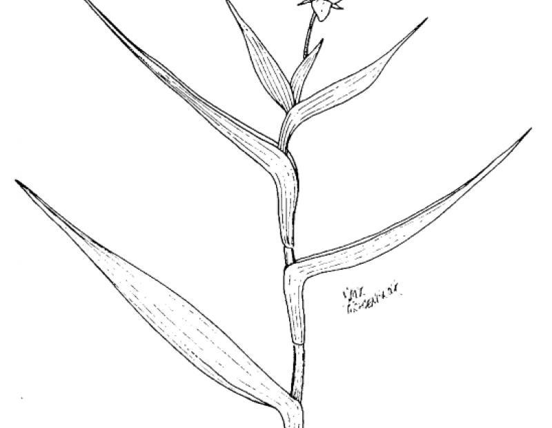 marsh dewflower stem