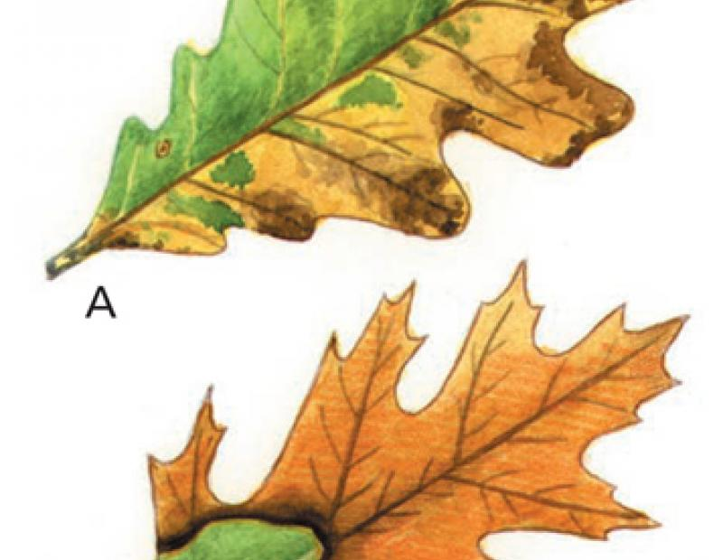 oak wilt symptoms