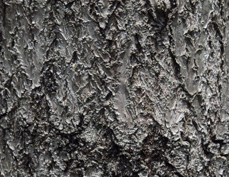 princess tree bark