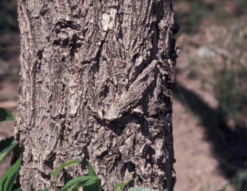 siberian elm bark