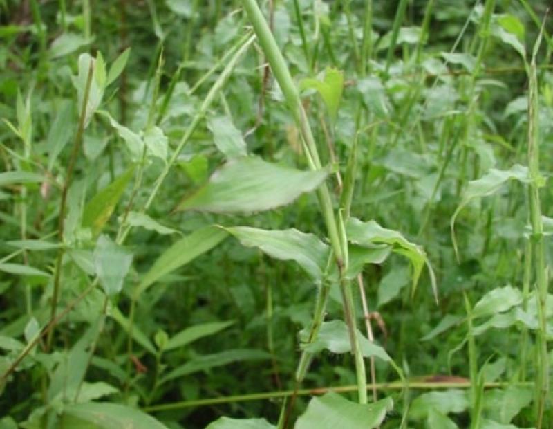 small carpetgrass