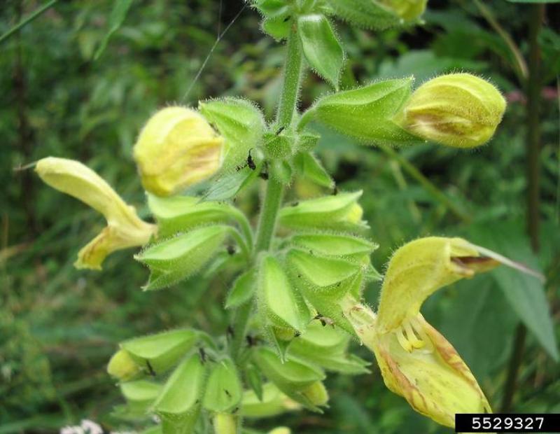 sticky sage flower