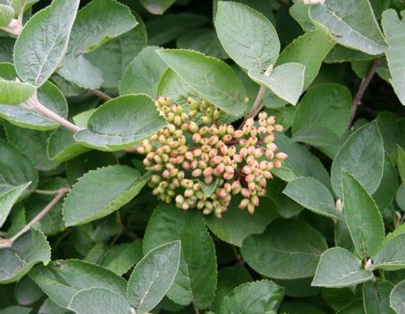 wayfaring tree fruit