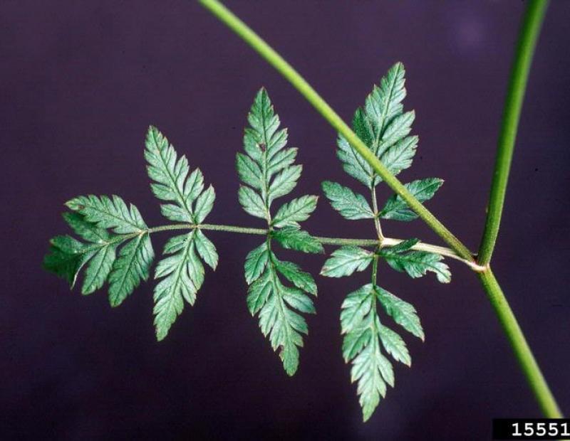 wild chervil leaf