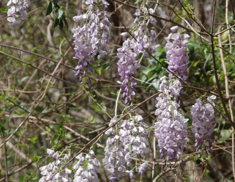 chinese wisteria flowers